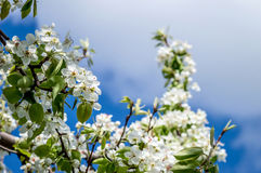 Flowering pear on a background of the sky Royalty Free Stock Photo