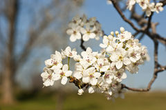 Flowering of a pear. Blooming time. Stock Photo