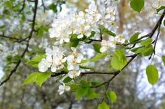Flowering pear Royalty Free Stock Photos