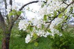 Flowering pear. Branch of the flowering pear in the garden Stock Photography