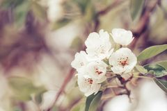 Flowering pear, colorful flowers natural springtime background, blurred image, copy space, selective focus royalty free stock photography