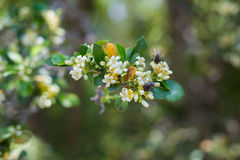 Flowering pear with flies on blossom Stock Photography