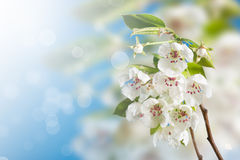 Flowering pear Stock Photography