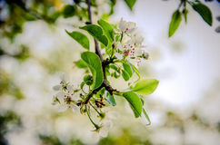 Flowering pear. Pear in the garden of spring blooms in May Stock Photo