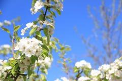 Flowering pear. The General plan flowering tree pear. Blue sky, white flowers, spring stock image