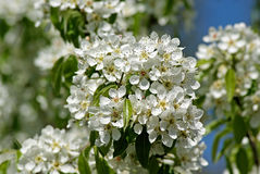 Flowering Pear. Spring Stock Photos