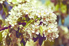 Flowering Pear. Spring Royalty Free Stock Image