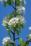 Flowering Pear. Spring Stock Photography