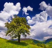 Flowering pear tree. In spring in the mountains Royalty Free Stock Image