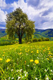 Flowering pear tree. In spring in the mountains Royalty Free Stock Photography