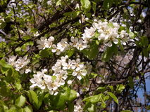Flowering pear tree Stock Images