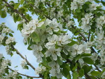 Flowering pear tree Royalty Free Stock Photo