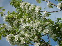 Flowering pear tree Stock Photography