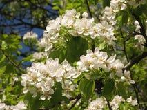Flowering pear tree. It is abundantly flowering pear tree Stock Image
