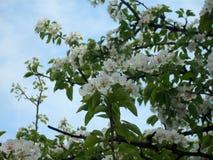 Flowering pear tree. It is abundantly flowering pear tree Stock Photos
