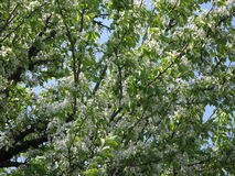 Flowering pear tree Royalty Free Stock Images