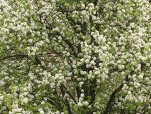 Flowering pear tree Royalty Free Stock Photography