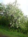 Flowering pear tree. It is abundantly flowering pear tree, vertical shot Stock Photos