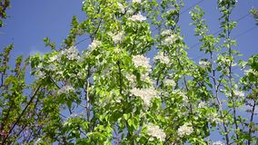 Flowering pear tree against blue sky, flowers of plum shakes the wind stock video
