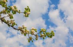 Flowering pear tree Royalty Free Stock Photos