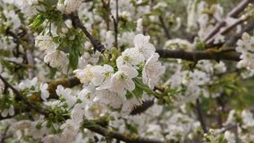 Flowering pear tree. With beautiful white flowers stock video footage