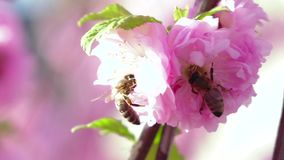 Flowering pear tree and bee taken pollen. Close up. Slow motion stock video footage
