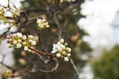 Flowering Pear tree blossoming and buds in the spring on a sunny. Day Royalty Free Stock Photos
