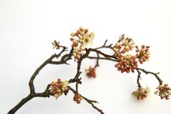 Flowering Pear tree blossoming and buds in the spring on white b stock image
