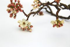 Flowering Pear tree blossoming and buds in the spring on white b. Ackground Royalty Free Stock Image