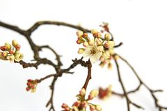 Flowering Pear tree branch blossoming with buds in the spring on. A white background Royalty Free Stock Image