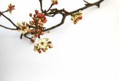 Flowering Pear tree branch blossoming with buds in the spring on. A white background Stock Image