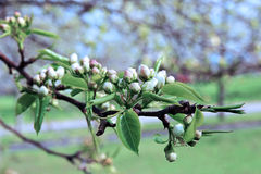 Flowering pear tree branch. In early spring Royalty Free Stock Image