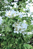 Flowering pear tree branch. In early spring Stock Images