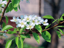 Flowering pear tree branch. In early spring Stock Image