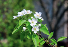 Flowering pear tree branch Stock Photography