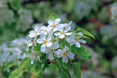 Flowering pear tree branch. In early spring Stock Photos