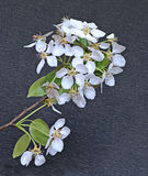 Flowering pear tree branch Stock Images