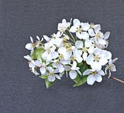 Flowering pear tree branch. In early spring against a dark background Stock Images