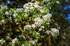 Flowering pear tree in early spring with blue sky in the backgro Stock Photo