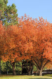 Flowering pear tree. With fall color Royalty Free Stock Images