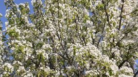 Flowering pear tree. With beautiful white flowers stock footage