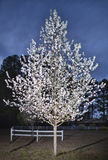 Flowering pear tree. Pear tree in full bloom in the spring just before nightfall Stock Photos