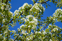 Flowering pear tree in the garden Royalty Free Stock Images