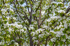 Flowering pear tree in the garden Stock Photography