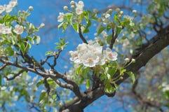 Flowering pear tree in garden. Flowering pear tree in spring garden Royalty Free Stock Photo