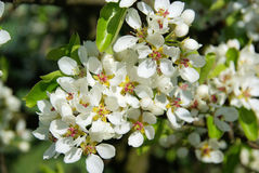 Flowering of pear tree Stock Images