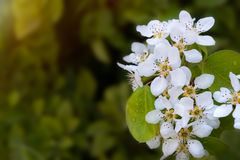 Flowering pear tree in spring. Blossoming flowers of pear tree in spring during the rain. Close-up Stock Images