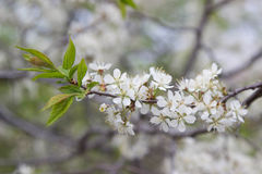 Flowering pear tree. white flowers Stock Images