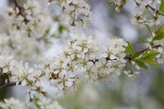 Flowering pear tree. white flowers Stock Image