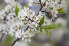 Flowering pear tree. white flowers Royalty Free Stock Photos